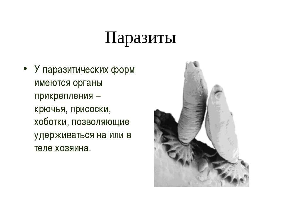 Паразиты У паразитических форм имеются органы прикрепления – крючья, присоски...