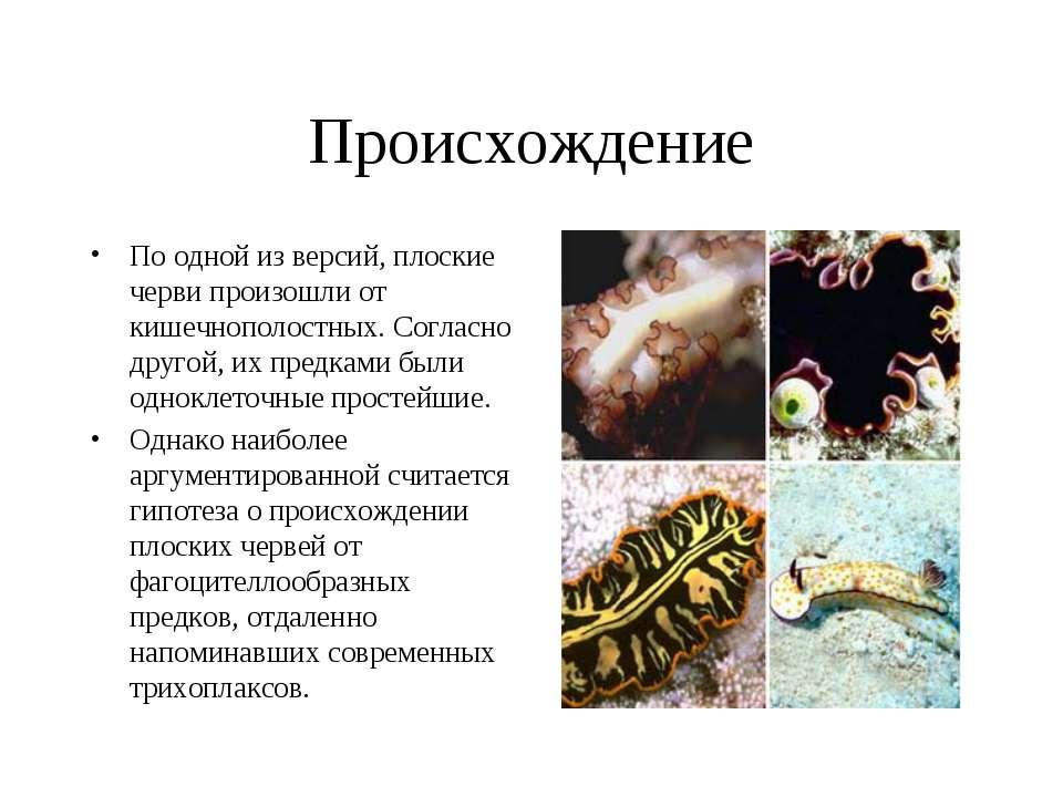 Происхождение По одной из версий, плоские черви произошли от кишечнополостных...