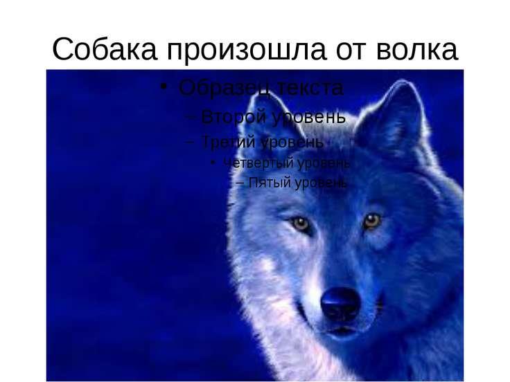 Собака произошла от волка