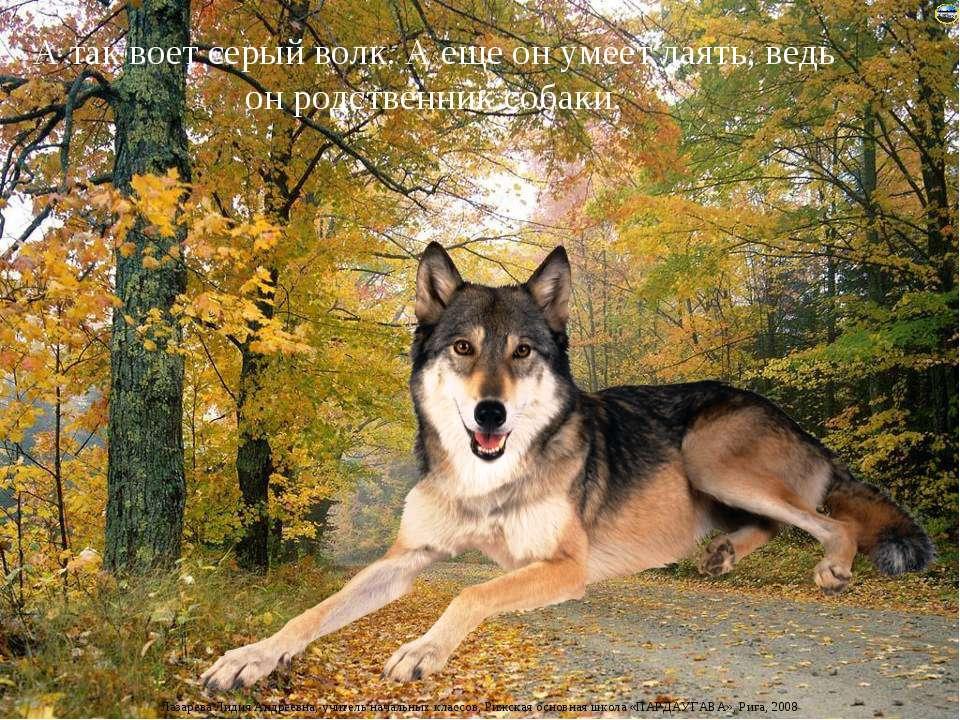 А так воет серый волк. А еще он умеет лаять, ведь он родственник собаки. Лаза...