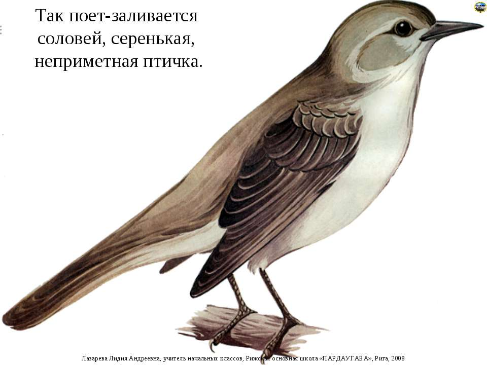 Так поет-заливается соловей, серенькая, неприметная птичка. Лазарева Лидия Ан...