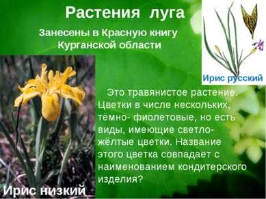 Растения луга Ирис низкий Это травянистое растение. Цветки в числе нескольких...