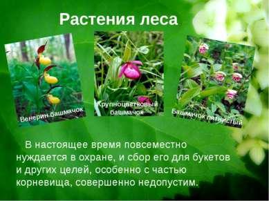 Растения леса Венерин башмачок Крупноцветковый башмачок Башмачок пятнистый В ...