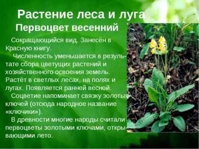 Растение леса и луга Первоцвет весенний Сокращающийся вид. Занесён в Красную ...