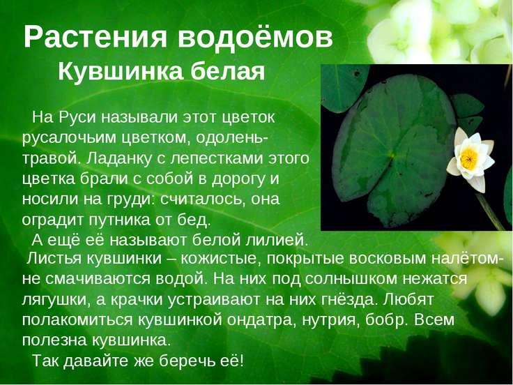 Растения водоёмов Кувшинка белая На Руси называли этот цветок русалочьим цвет...