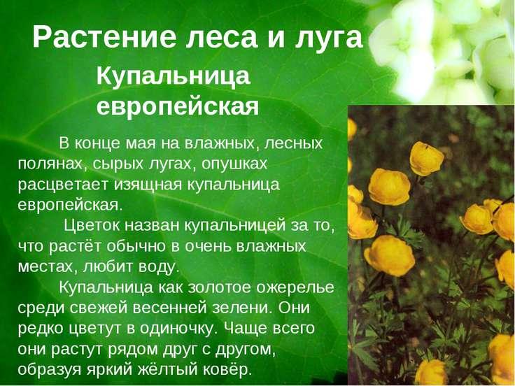 Растение леса и луга Купальница европейская В конце мая на влажных, лесных по...