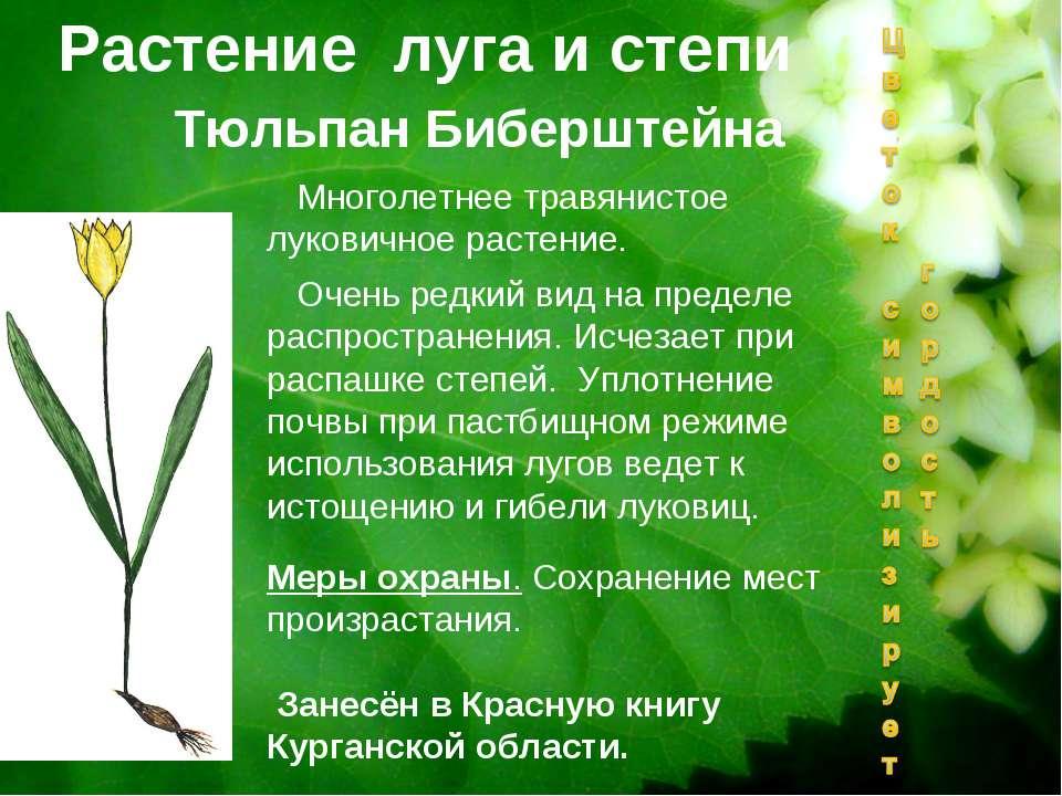 Тюльпан Биберштейна Растение луга и степи Многолетнее травянистое луковичное ...