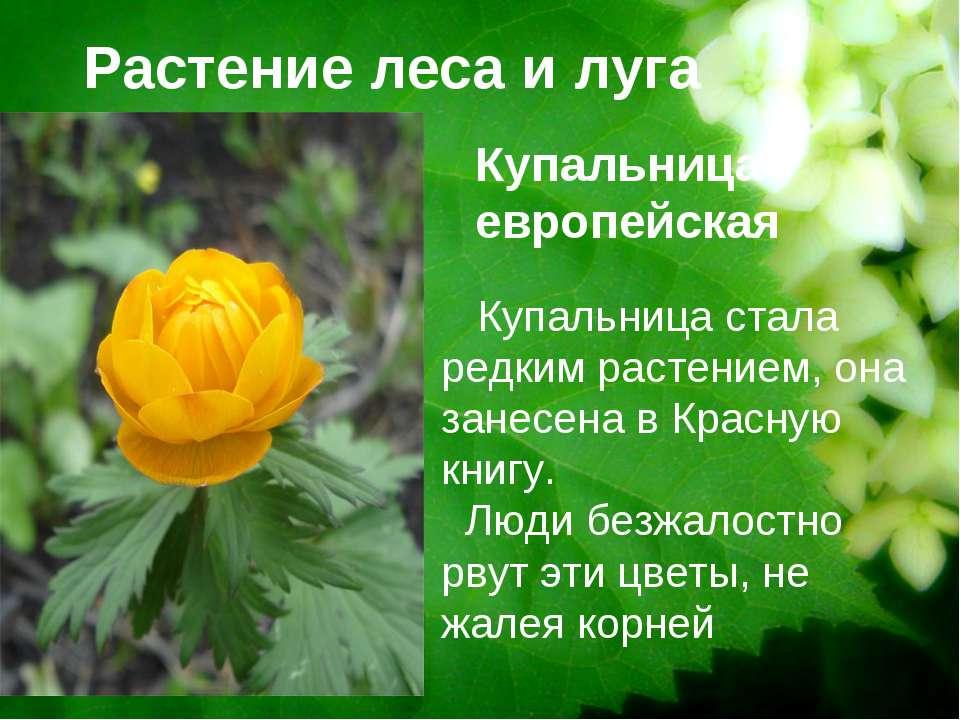 Растение леса и луга Купальница европейская Купальница стала редким растением...