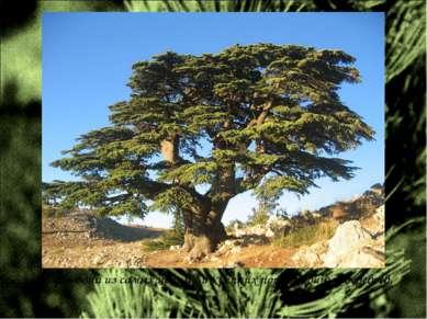 Кедр – одна из самых ценных и крепких пород хвойных деревьев.