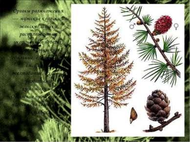 Органы размножения — мужские колоски и женские шишки расположены на укороченн...