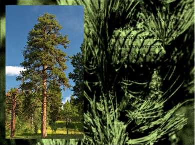 Все современные виды хвойных — древесные растения, в основном — деревья, хотя...