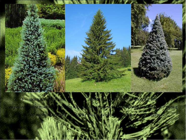 Ель – ценная хвойная порода. Служит сырьём для многих отраслей деревообрабаты...