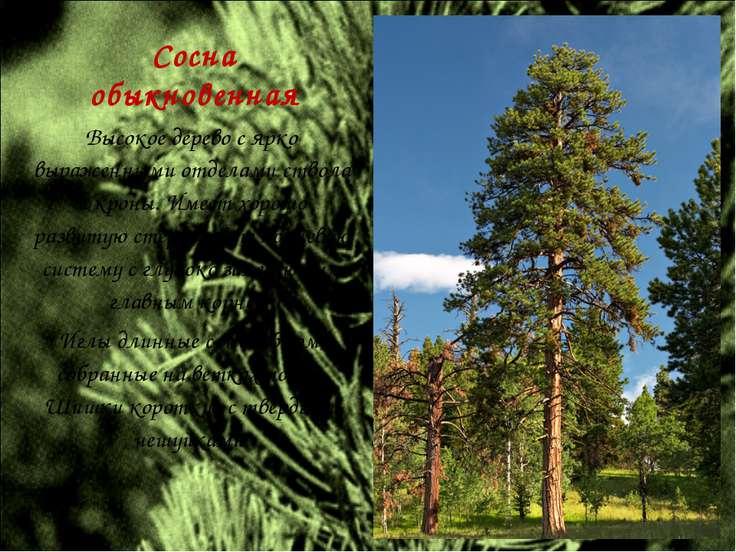 Сосна обыкновенная Высокое дерево с ярко выраженными отделами ствола и кроны....