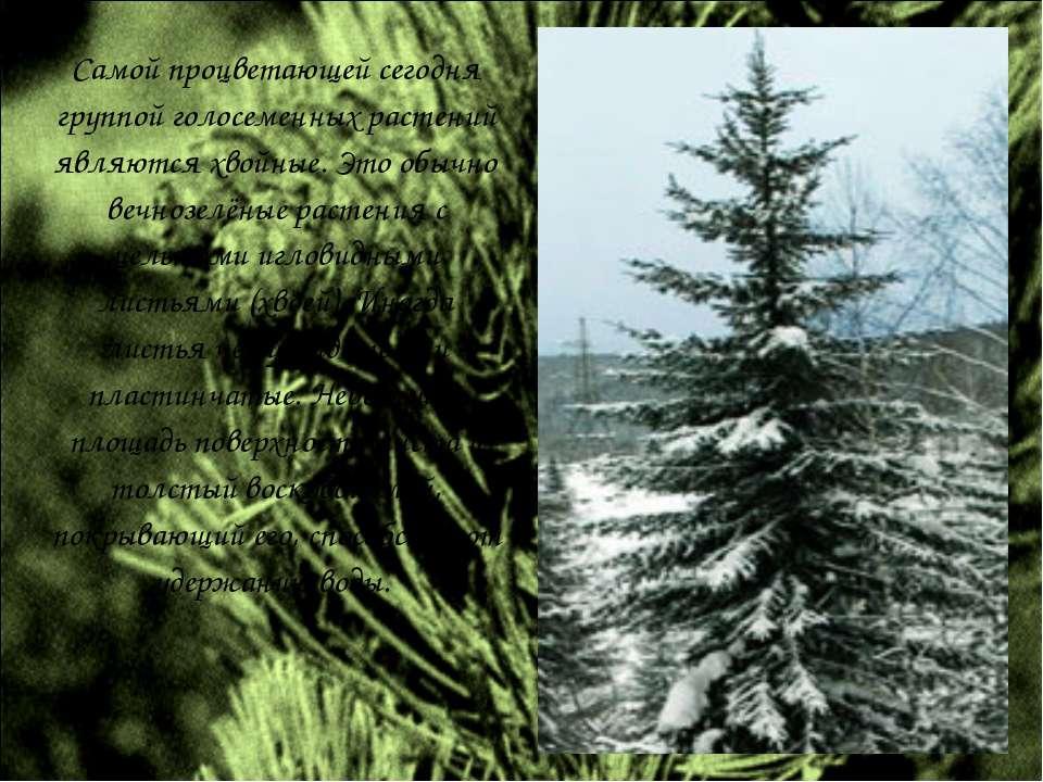 Самой процветающей сегодня группой голосеменных растений являются хвойные. Эт...