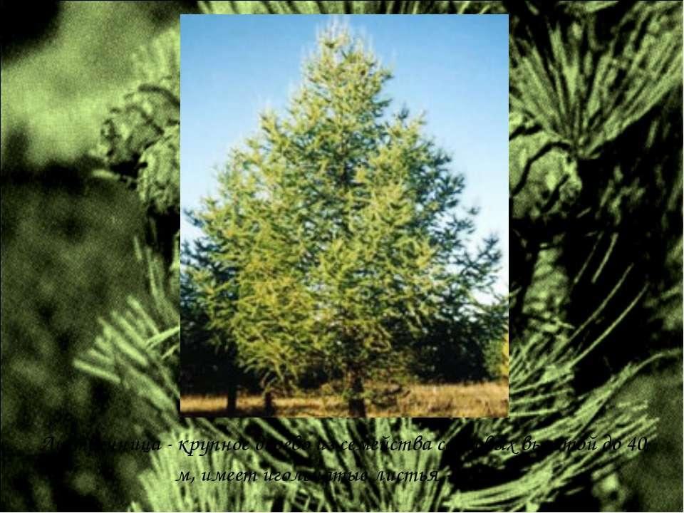 Лиственница - крупное дерево из семейства сосновых высотой до 40 м, имеет иго...