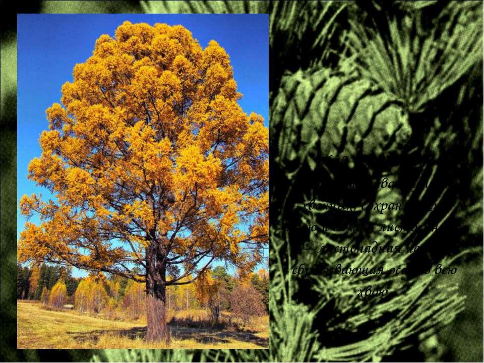 Но в отличие от большинства других хвойных, сохраняющих хвою и зимой, листвен...