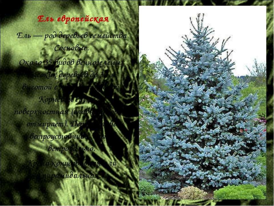 Ель европейская Ель — род деревьев семейства Сосновые. Около 35 видов вечнозе...