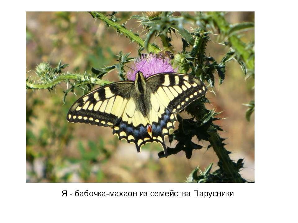 Я - бабочка-махаон из семейства Парусники