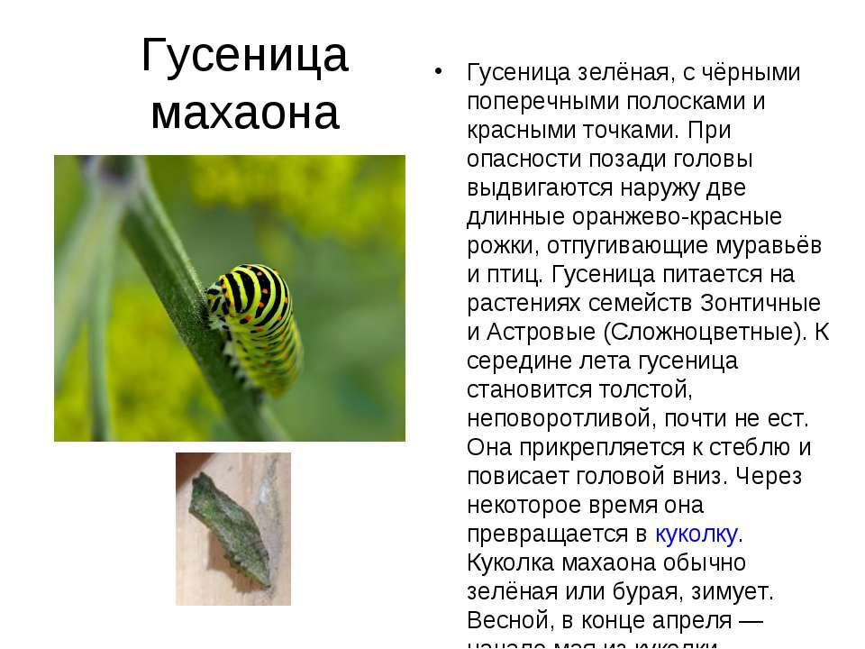 Гусеница махаона Гусеница зелёная, с чёрными поперечными полосками и красными...