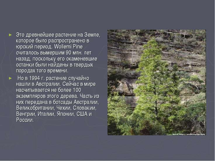 Это древнейшее растение на Земле, которое было распространено в юрский период...