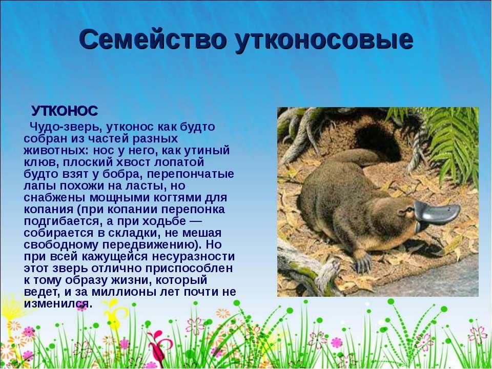 Семейство утконосовые УТКОНОС Чудо-зверь, утконос как будто собран из частей ...