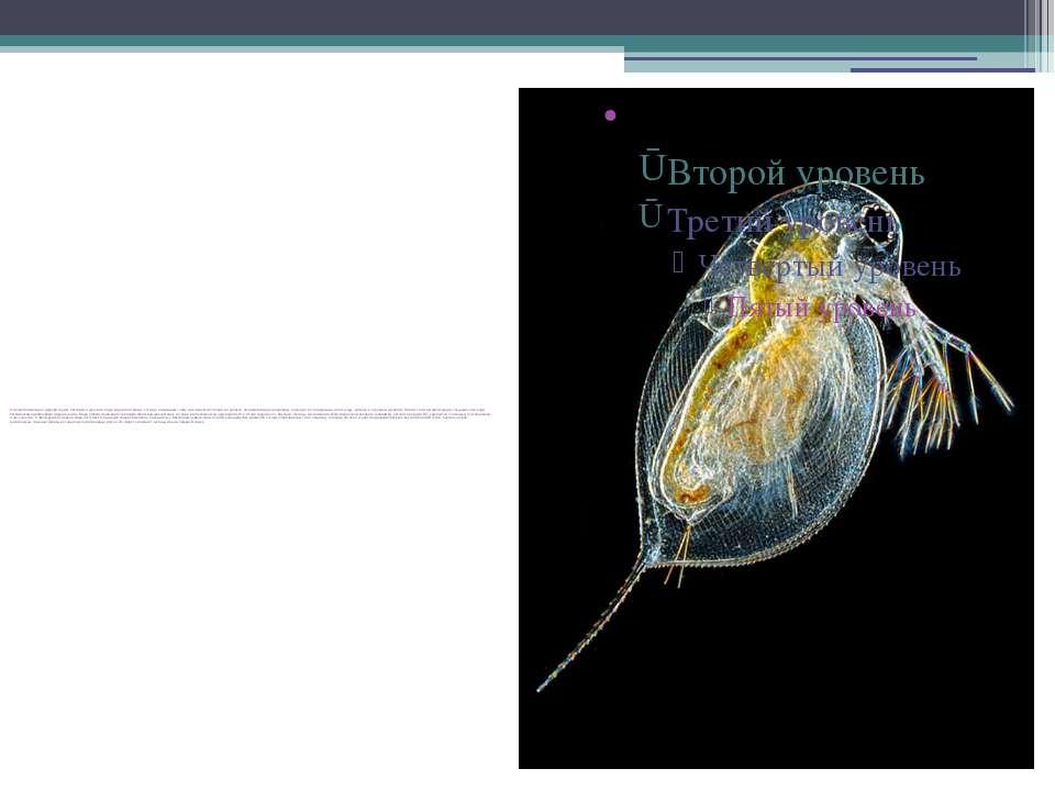 Основной пищей для дафний служат бактерии и одноклеточные водоросли. Виды, ко...