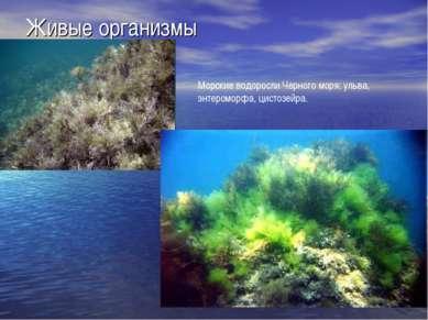 Живые организмы Морские водоросли Черного моря: ульва, энтероморфа, цистозейра.