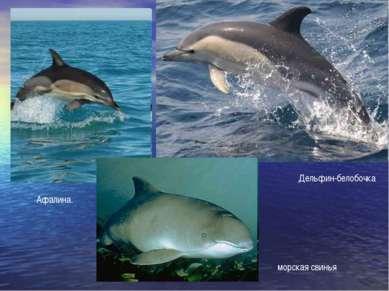 Афалина. Дельфин-белобочка морская свинья