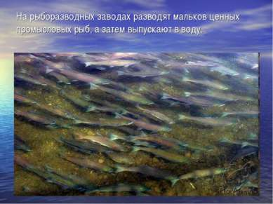 На рыборазводных заводах разводят мальков ценных промысловых рыб, а затем вып...