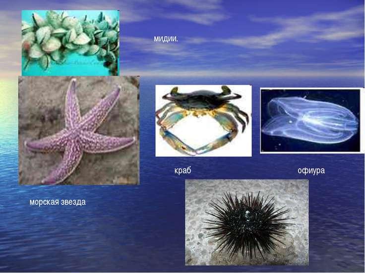 морская звезда краб офиура мидии.