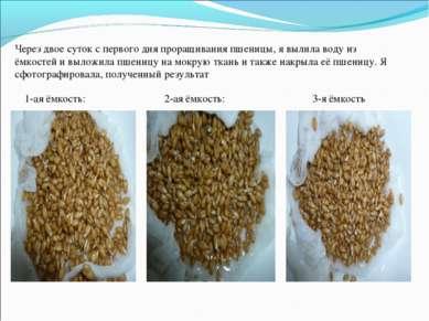 Через двое суток с первого дня проращивания пшеницы, я вылила воду из ёмкосте...