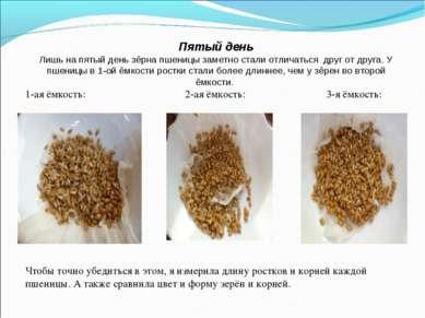 Пятый день Лишь на пятый день зёрна пшеницы заметно стали отличаться друг от ...