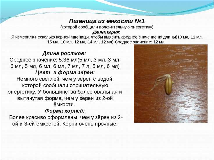 Пшеница из ёмкости №1 (которой сообщали положительную энергетику) Длина корня...