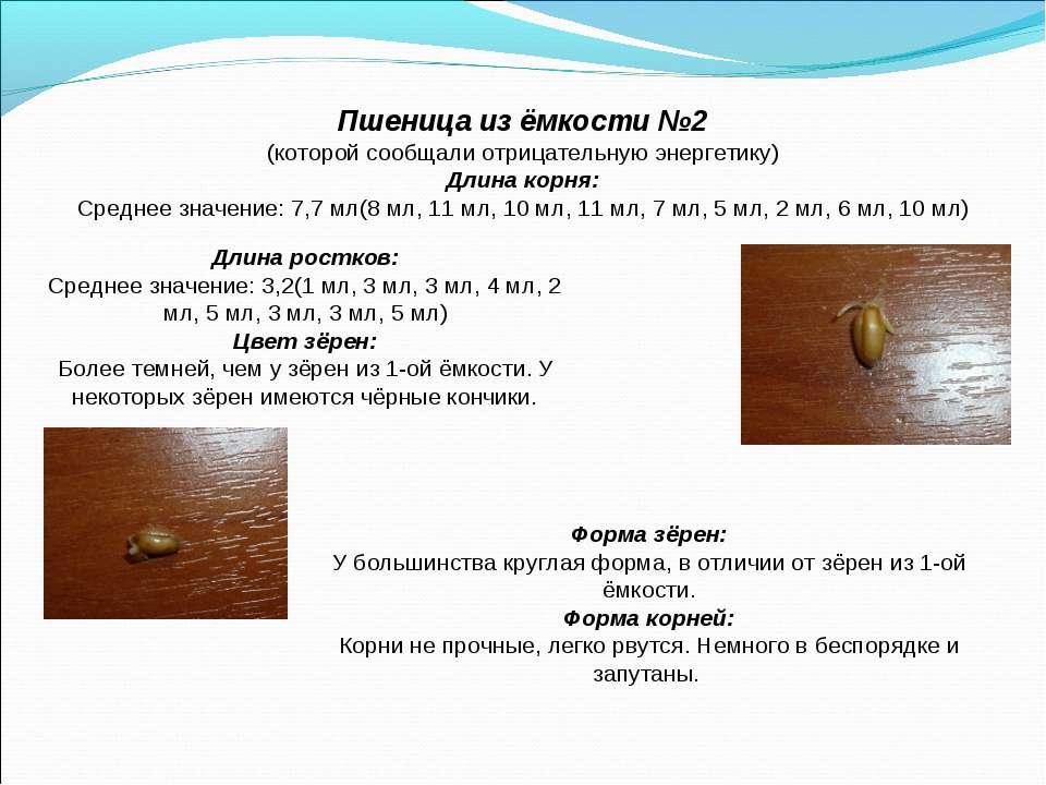 Пшеница из ёмкости №2 (которой сообщали отрицательную энергетику) Длина корня...