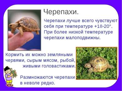 Черепахи. Черепахи лучше всего чувствуют себя при температуре +18-20°. При бо...