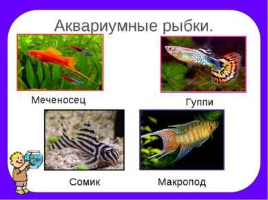 Аквариумные рыбки. Меченосец Гуппи Сомик Макропод