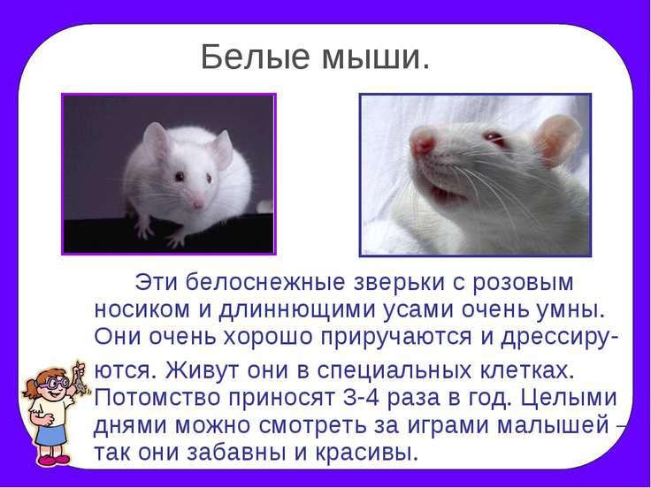 Белые мыши. Эти белоснежные зверьки с розовым носиком и длиннющими усами очен...