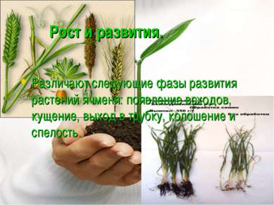Рост и развития. Различают следующие фазы развития растений ячменя: появление...