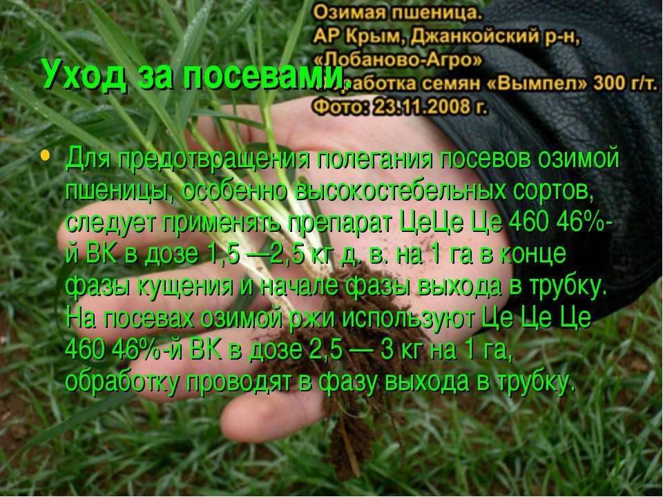 Уход за посевами. Для предотвращения полегания посевов озимой пшеницы, особен...