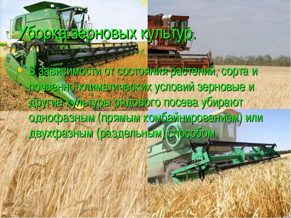 Уборка зерновых культур. В зависимости от состояния растений, сорта и почвенн...