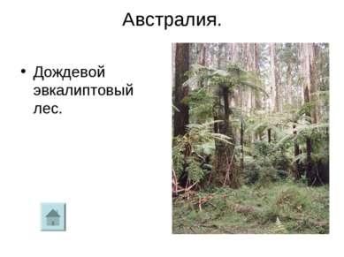 Австралия. Дождевой эвкалиптовый лес.