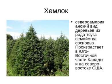 Хемлок североамериканский вид деревьев из рода тсуга семейства сосновых. Прои...