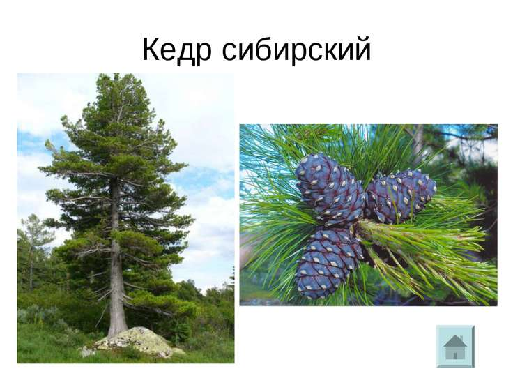Кедр сибирский