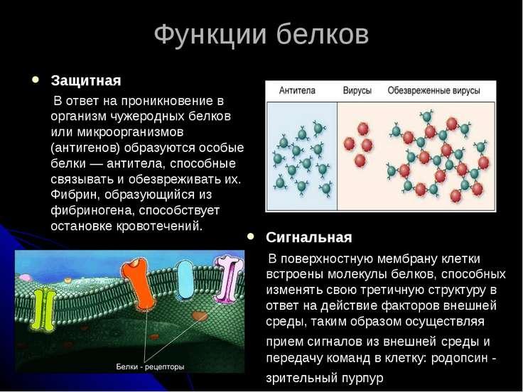 Функции белков Защитная В ответ на проникновение в организм чужеродных белков...
