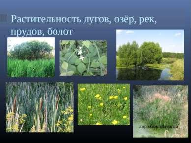 Растительность лугов, озёр, рек, прудов, болот аир обыкновенный
