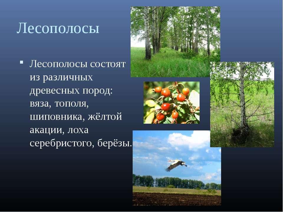 Лесополосы Лесополосы состоят из различных древесных пород: вяза, тополя, шип...