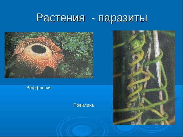 Растения - паразиты Раффлезия Повилика