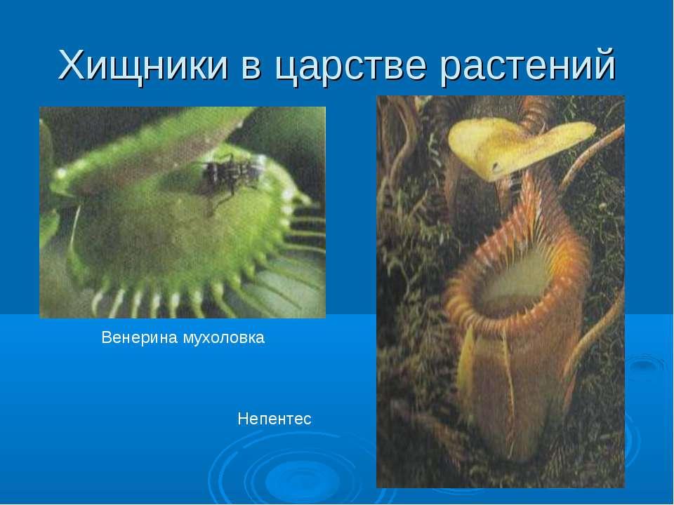 Хищники в царстве растений Венерина мухоловка Непентес