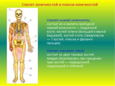 Скелет нижней конечности: состоит из и скелета свободной нижней конечности — ...