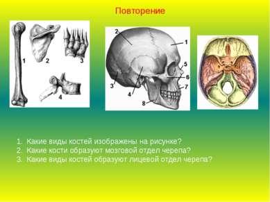 Какие виды костей изображены на рисунке? Какие кости образуют мозговой отдел ...